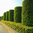Stock Photo: Green plant garden in parallel line order