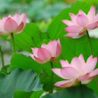 Pink lotus — Stock Photo #2555823