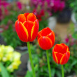 Colorful spring tulip flowers in the garden — Stock Photo