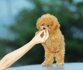 Close shoot small brown toy poodle — Stock Photo