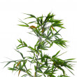 Bamboo leaves — Stockfoto