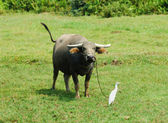 Bull and heron in countryside — Stock Photo