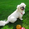 Portrait of pekingese dog — Stock Photo