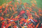 красный и золотой рыбки — Стоковое фото