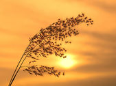 The bulrushes against sunlight over sky background in sunset. — Stock Photo