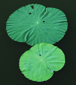Lotus leaves — Stock Photo