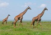 Three giraffes in savannah — Stock Photo