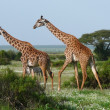 Two giraffes in african savannah - Stock Photo