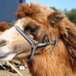 Head of camel — Stock Photo #2143762