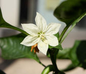 цветок паприки — Стоковое фото