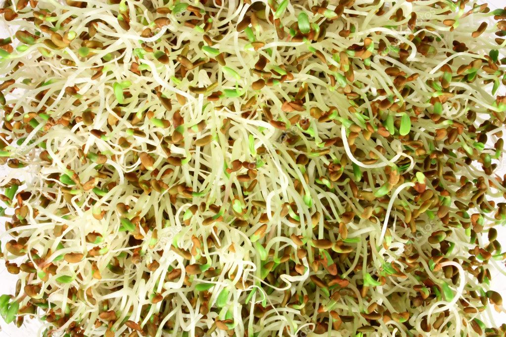 Alpha-alpha sprouts, close-up of edible sprouted seed — Stock Photo #2142880