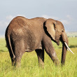 Elephant — Stock Photo #2074095