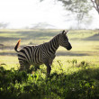 Zebra — Stock Photo #2074511
