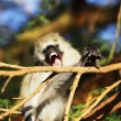 Monkey — Stock Photo #2078525