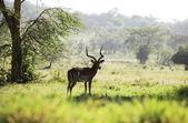 Antelope in park — Stock Photo