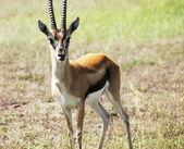 Springbok — Zdjęcie stockowe