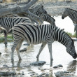 Zebra — Stock Photo #2081375