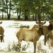 Deers — Stock Photo #2082014
