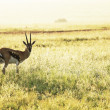 Antelope — Stock Photo #2099660
