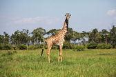 Girafe in grass — Stock Photo