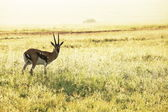 Antelope — Stock Photo