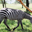 Zebra — Stock Photo #2100752