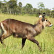 Waterbuck — Stock Photo #2102922
