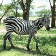 Zebra — Stock Photo #2102957