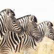 Zebras — Stock Photo #2103417