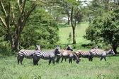 Zebras — ストック写真