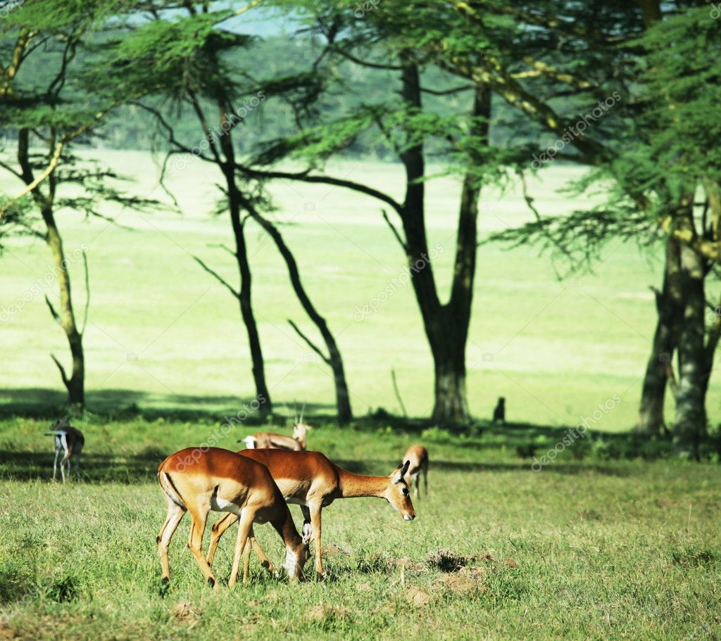 Antelope impala — Stock Photo #2102245