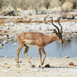Antelope — Stock Photo #2113979