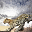 Leopard — Stock Photo #2114095