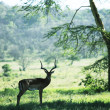 Stock Photo: Antelope in forest