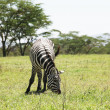 Zebra — Stock Photo #2118134