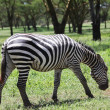 Zebra — Stock Photo #2165158