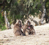 Monkey Gellada — Stock Photo