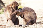 Monkeys — Stockfoto