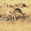 Antelope — Stock Photo #2402369