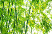 Verdure flourish bamboo background — Stock Photo