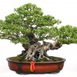 Stock Photo: The Chinese bonsai tree of banyan in a pottery pot.