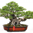 The Chinese bonsai tree of banyan in a pottery pot. — Stock Photo