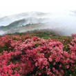 Misty spring mountain with azelea flowers and bushes. — Stock Photo #2316211