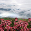 Misty spring mountain with azelea flowers and bushes. — Stock Photo