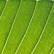 The tropical arum leaf background back-lit. — Stock Photo