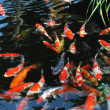 The swimming colorful carps in the tranquil pond water. — Stockfoto