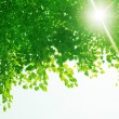 Sunshine through green leaves. - Stock Photo