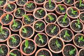 Les semis de petites fleurs dans des pots en plastique dans un jardin de la pépinière. — Photo