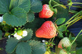Fresh luscious red strawberries in the field. — Stock Photo