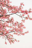 Pink spring kapok flowers — Stock Photo